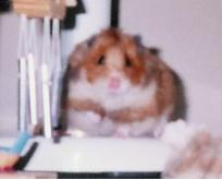 Hommage à mon hamster... Guimly
