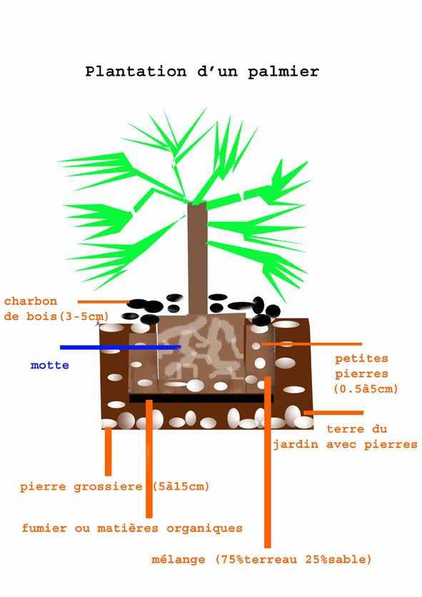 comment planter palmier