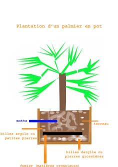 planter un palmier en pot