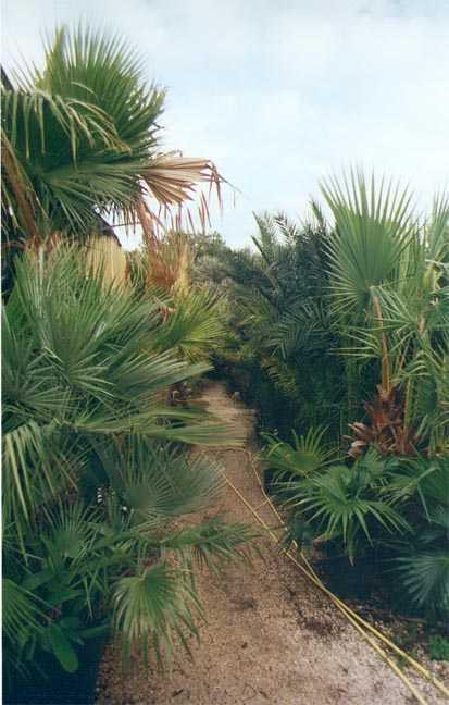 Palmiers ornementaux - Centre educatif du palmier ...